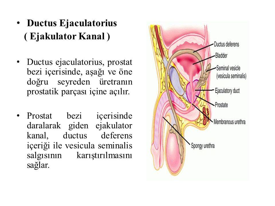Ductus Ejaculatorius ( Ejakulator Kanal )