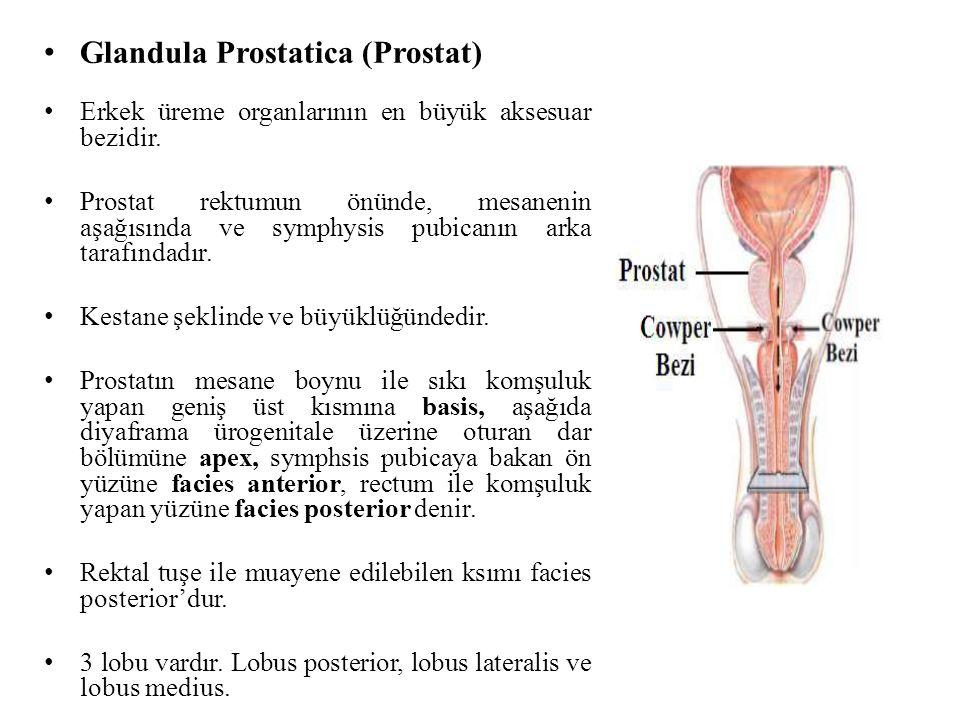 Glandula Prostatica (Prostat)