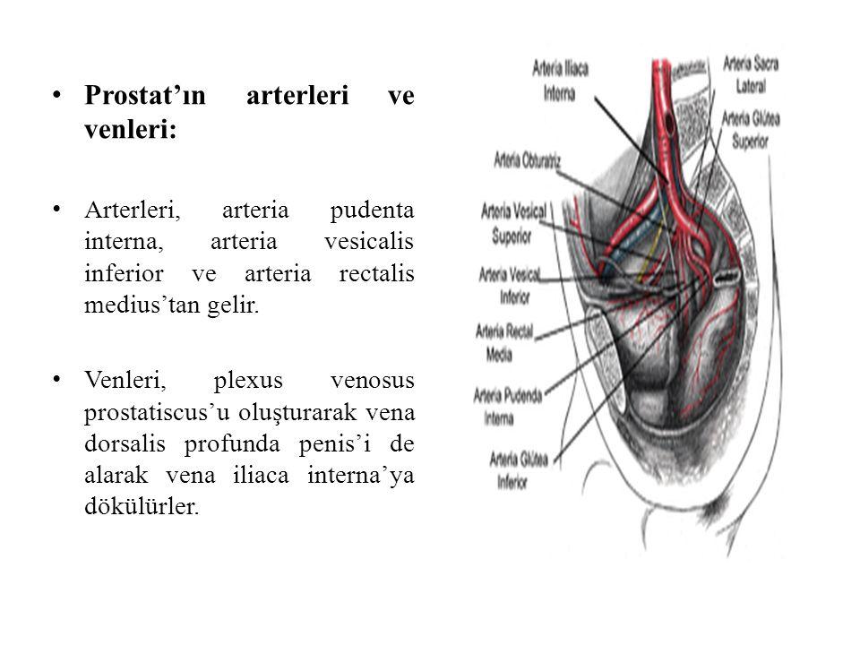Prostat'ın arterleri ve venleri: