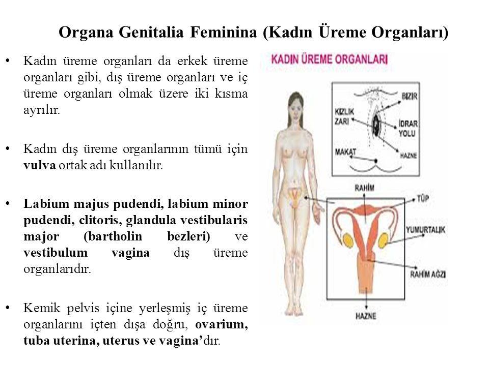 Organa Genitalia Feminina (Kadın Üreme Organları)