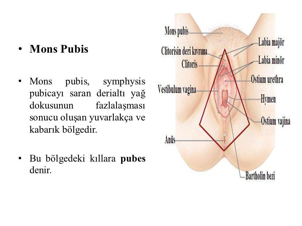 Mons Pubis Mons pubis, symphysis pubicayı saran derialtı yağ dokusunun fazlalaşması sonucu oluşan yuvarlakça ve kabarık bölgedir.