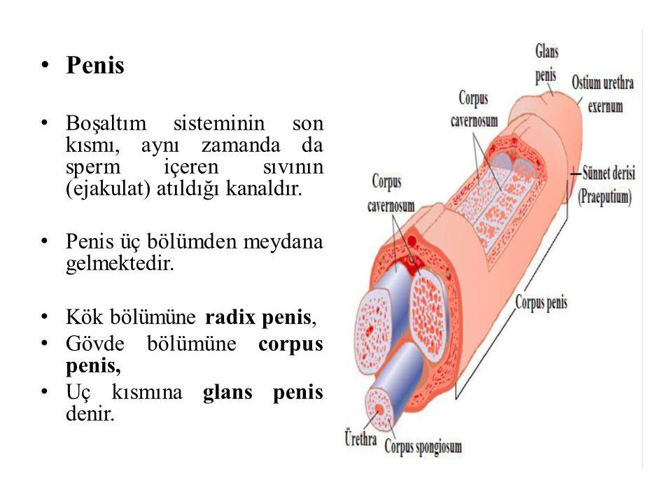 Penis Boşaltım sisteminin son kısmı, aynı zamanda da sperm içeren sıvının (ejakulat) atıldığı kanaldır.