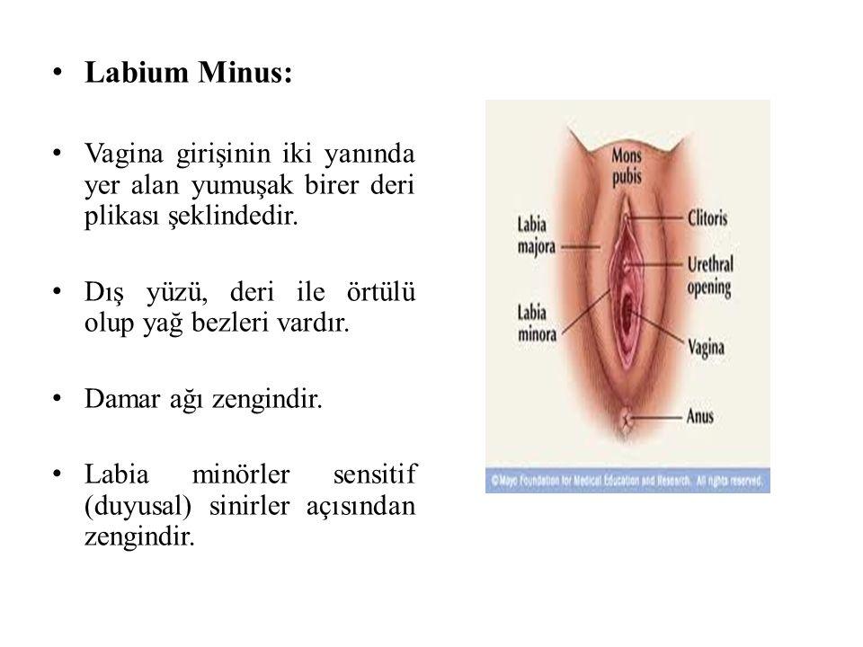 Labium Minus: Vagina girişinin iki yanında yer alan yumuşak birer deri plikası şeklindedir. Dış yüzü, deri ile örtülü olup yağ bezleri vardır.