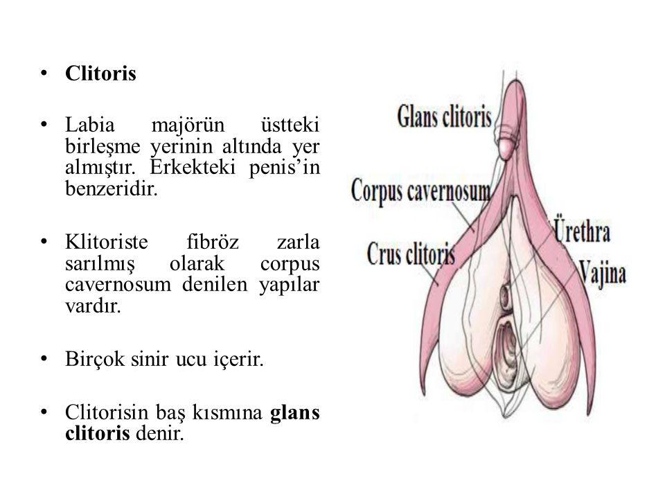 Clitoris Labia majörün üstteki birleşme yerinin altında yer almıştır. Erkekteki penis'in benzeridir.
