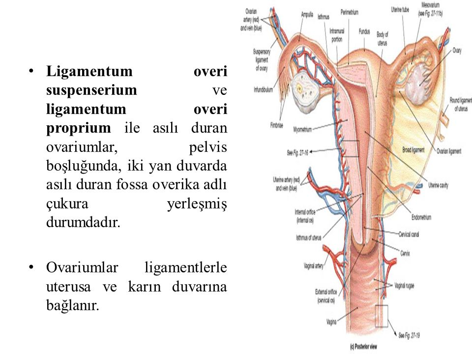 Ligamentum overi suspenserium ve ligamentum overi proprium ile asılı duran ovariumlar, pelvis boşluğunda, iki yan duvarda asılı duran fossa overika adlı çukura yerleşmiş durumdadır.
