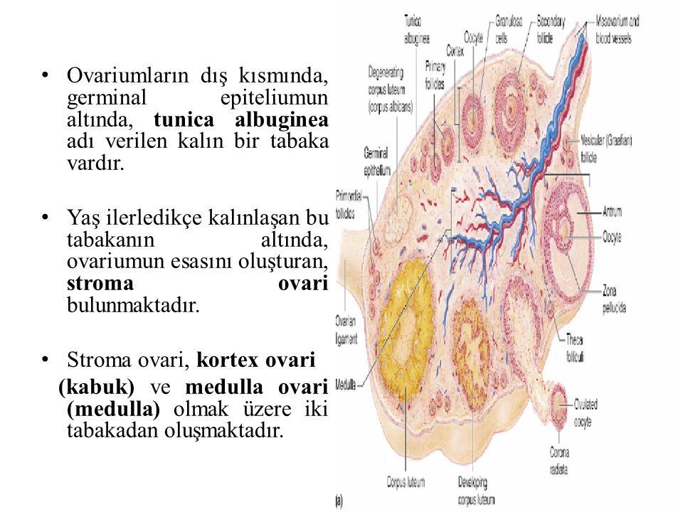 Ovariumların dış kısmında, germinal epiteliumun altında, tunica albuginea adı verilen kalın bir tabaka vardır.