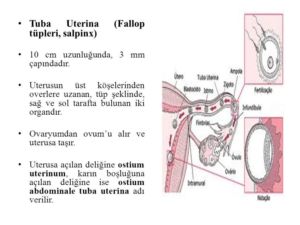Tuba Uterina (Fallop tüpleri, salpinx)