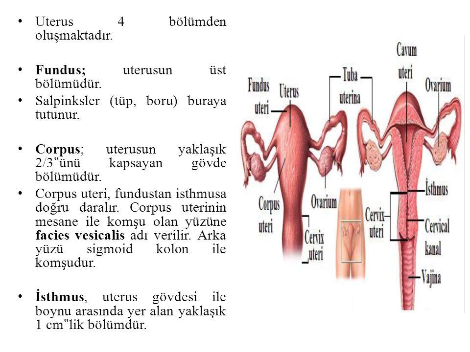 Uterus 4 bölümden oluşmaktadır.
