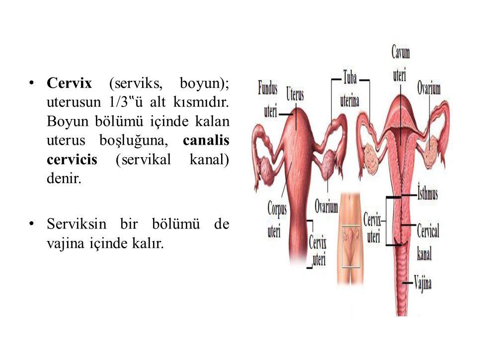 """Cervix (serviks, boyun); uterusun 1/3""""ü alt kısmıdır"""