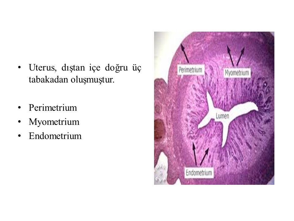 Uterus, dıştan içe doğru üç tabakadan oluşmuştur.