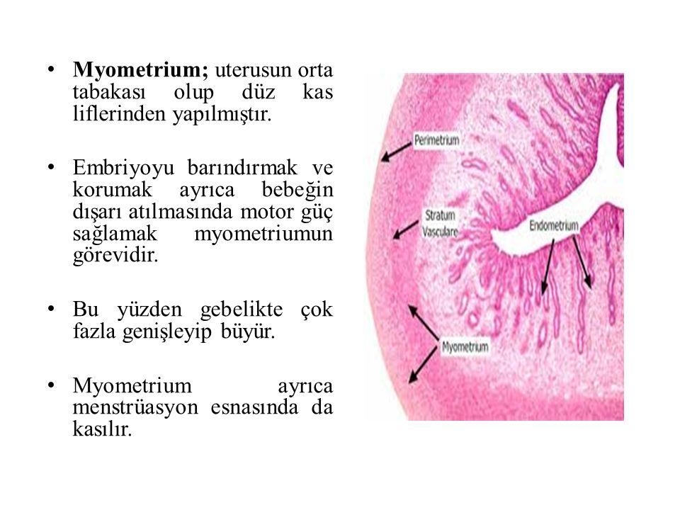 Myometrium; uterusun orta tabakası olup düz kas liflerinden yapılmıştır.