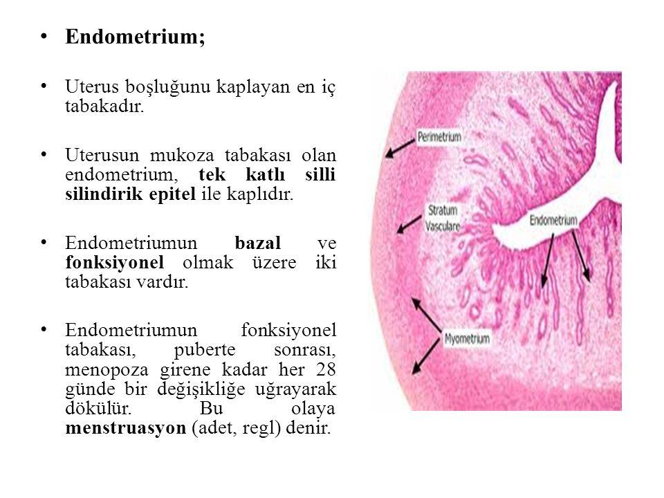Endometrium; Uterus boşluğunu kaplayan en iç tabakadır.