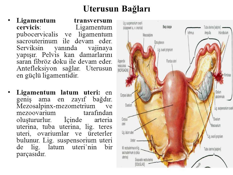Uterusun Bağları