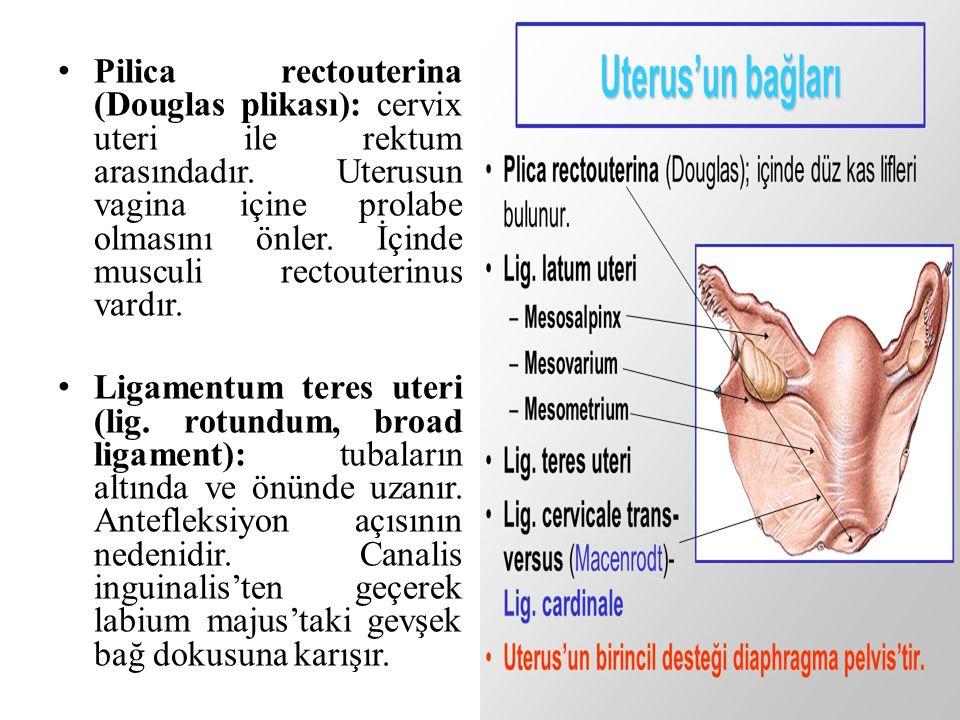 Pilica rectouterina (Douglas plikası): cervix uteri ile rektum arasındadır. Uterusun vagina içine prolabe olmasını önler. İçinde musculi rectouterinus vardır.