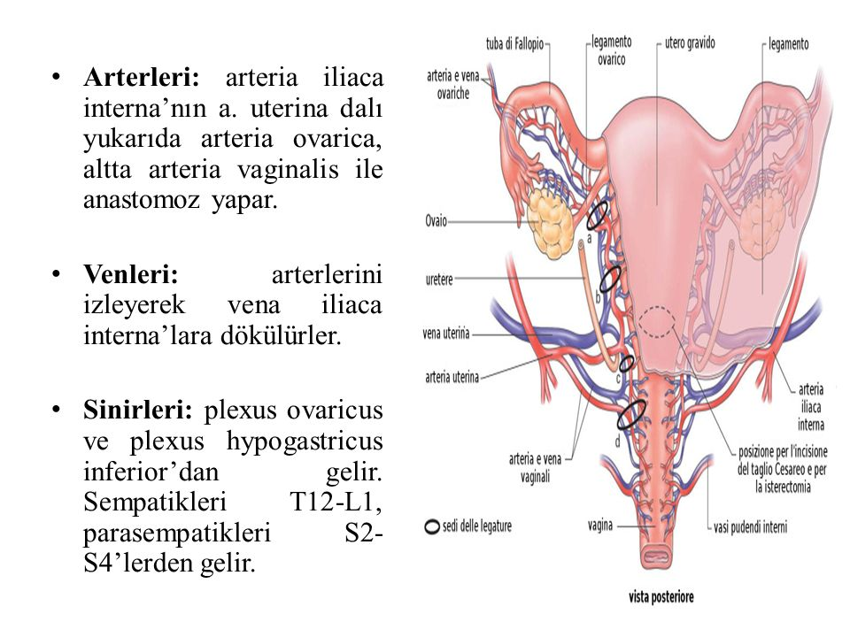 Arterleri: arteria iliaca interna'nın a