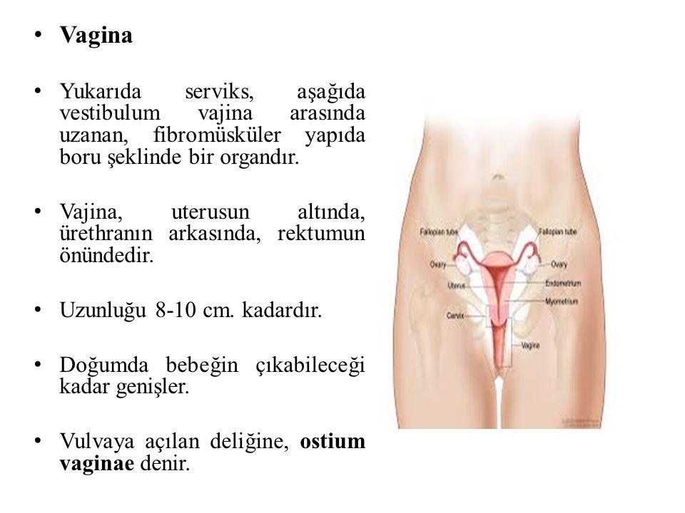 Vagina Yukarıda serviks, aşağıda vestibulum vajina arasında uzanan, fibromüsküler yapıda boru şeklinde bir organdır.