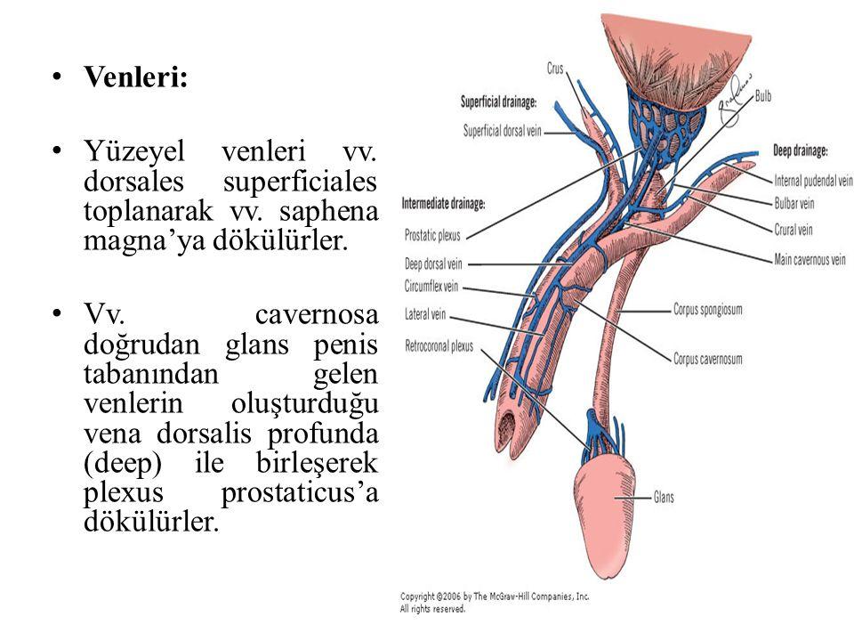 Venleri: Yüzeyel venleri vv. dorsales superficiales toplanarak vv. saphena magna'ya dökülürler.