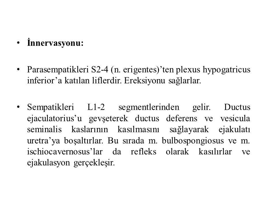 İnnervasyonu: Parasempatikleri S2-4 (n. erigentes)'ten plexus hypogatricus inferior'a katılan liflerdir. Ereksiyonu sağlarlar.