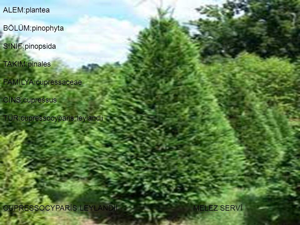 FAMİLYA:cupressaceae CİNS:cupressus TÜR:cupressocyparis leylandii