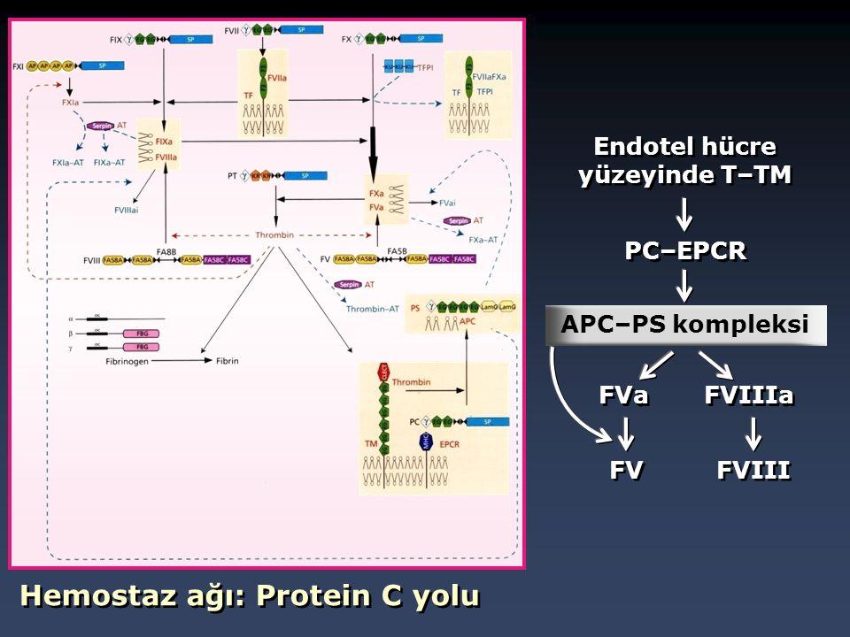 Endotel hücre yüzeyinde T–TM Hemostaz ağı: Protein C yolu