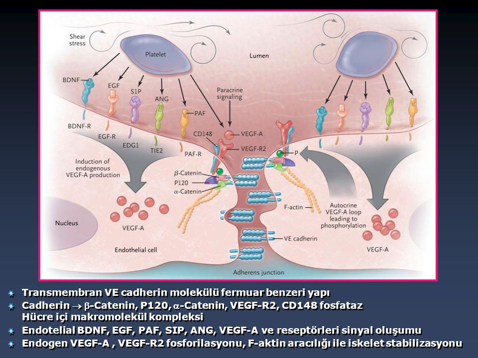 Transmembran VE cadherin molekülü fermuar benzeri yapı