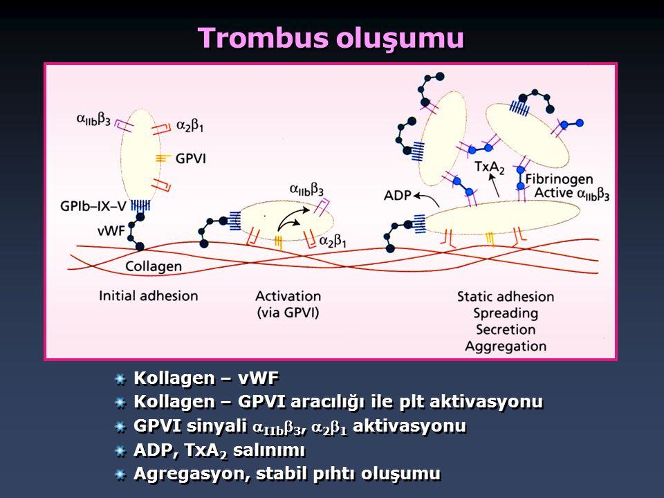 Trombus oluşumu Kollagen – vWF