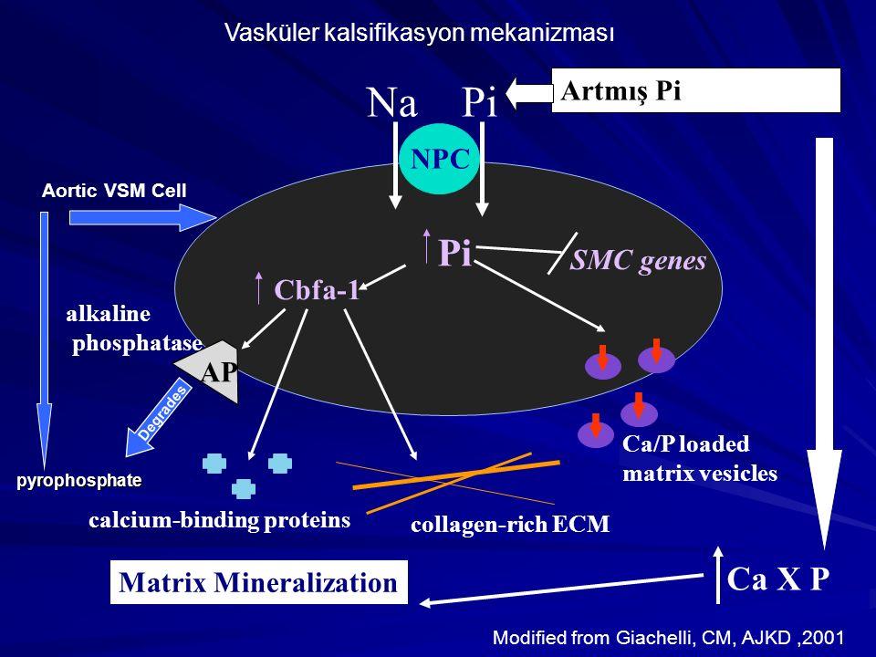 Na Pi Pi Ca X P Artmış Pi NPC SMC genes Cbfa-1 AP