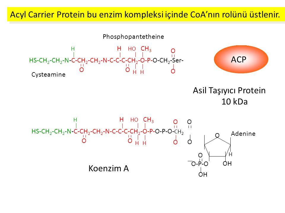 Acyl Carrier Protein bu enzim kompleksi içinde CoA'nın rolünü üstlenir.