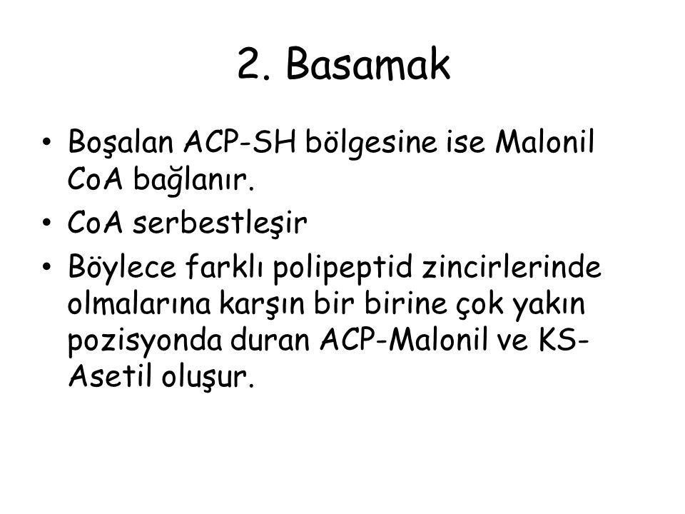 2. Basamak Boşalan ACP-SH bölgesine ise Malonil CoA bağlanır.