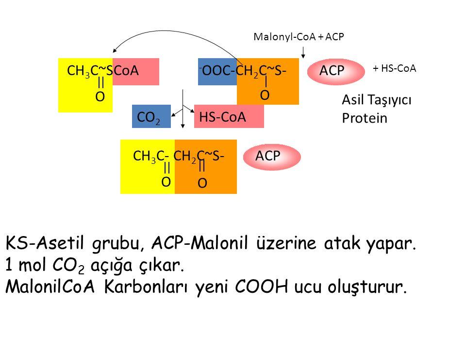 KS-Asetil grubu, ACP-Malonil üzerine atak yapar.