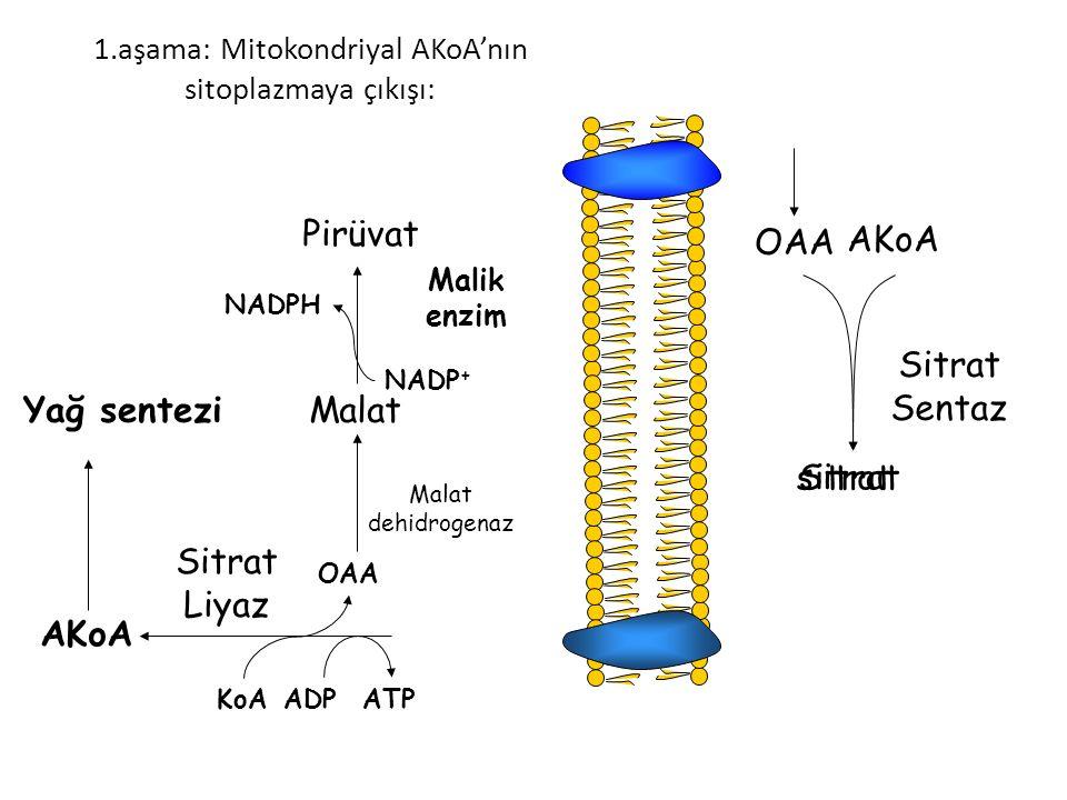 1.aşama: Mitokondriyal AKoA'nın sitoplazmaya çıkışı: