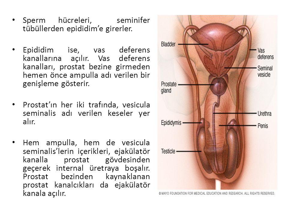 Sperm hücreleri, seminifer tübüllerden epididim'e girerler.