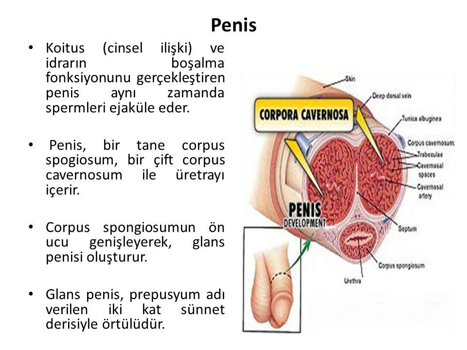 Penis Koitus (cinsel ilişki) ve idrarın boşalma fonksiyonunu gerçekleştiren penis aynı zamanda spermleri ejaküle eder.