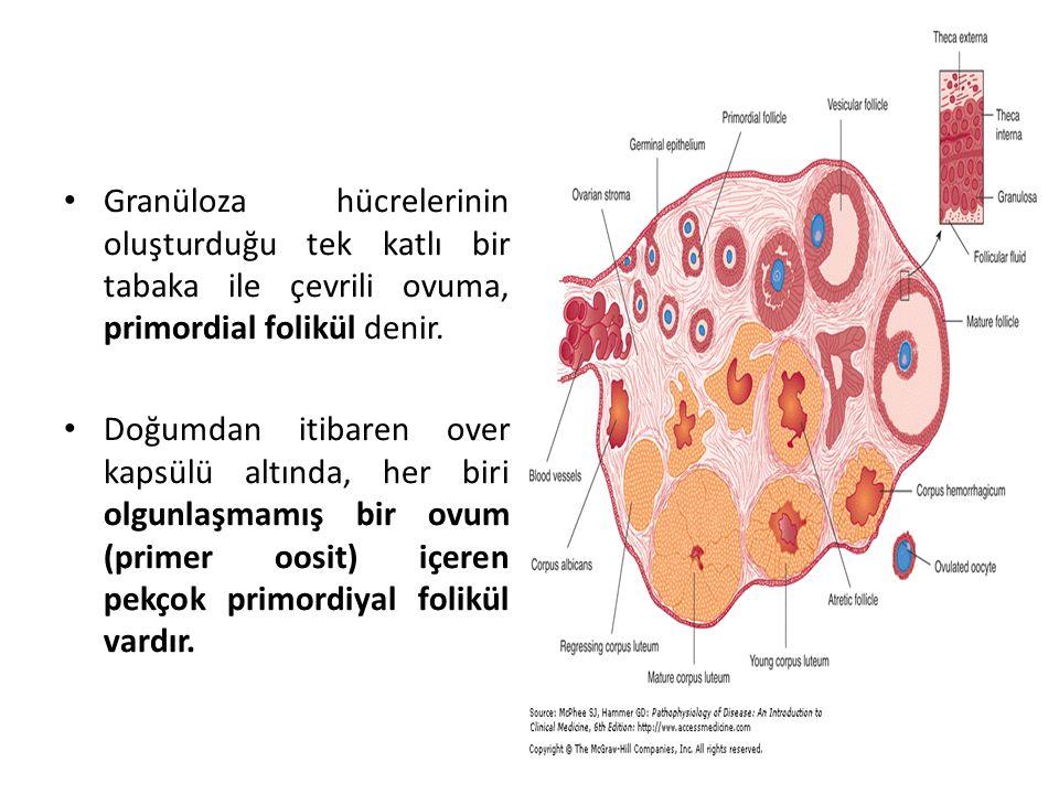 Granüloza hücrelerinin oluşturduğu tek katlı bir tabaka ile çevrili ovuma, primordial folikül denir.