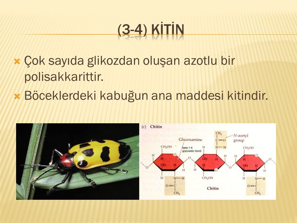 (3-4) KİTİn Çok sayıda glikozdan oluşan azotlu bir polisakkarittir.