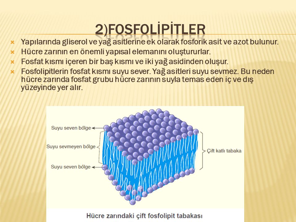 2)fosfolİPİtler Yapılarında gliserol ve yağ asitlerine ek olarak fosforik asit ve azot bulunur.