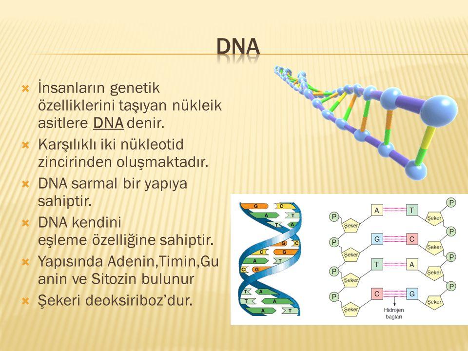 DNA İnsanların genetik özelliklerini taşıyan nükleik asitlere DNA denir. Karşılıklı iki nükleotid zincirinden oluşmaktadır.