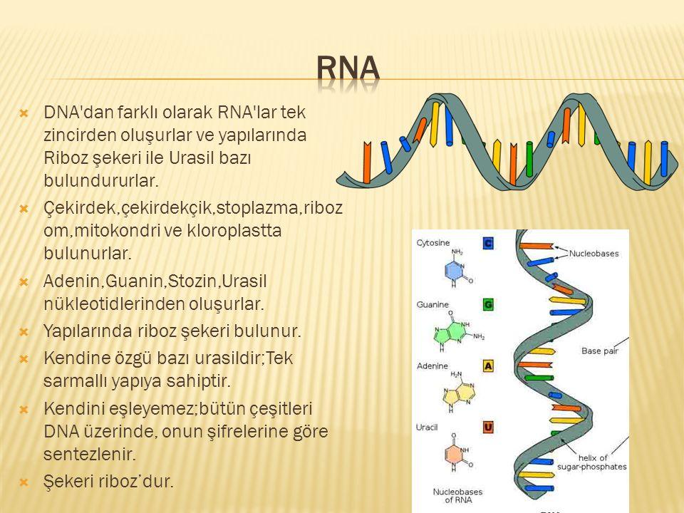 RNA DNA dan farklı olarak RNA lar tek zincirden oluşurlar ve yapılarında Riboz şekeri ile Urasil bazı bulundururlar.