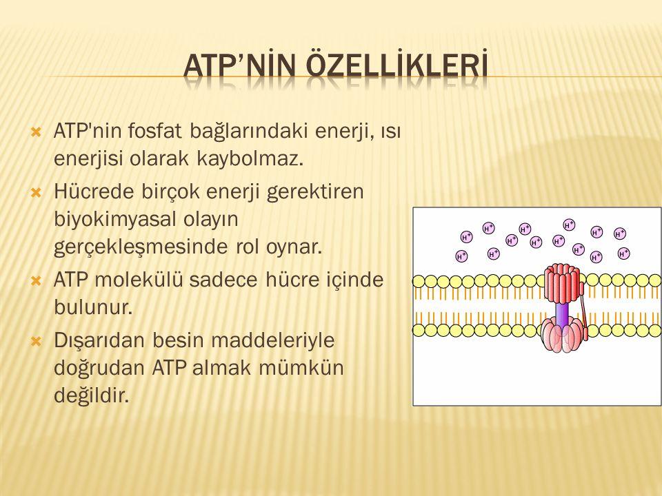 ATP'NİN ÖZELLİKLERİ ATP nin fosfat bağlarındaki enerji, ısı enerjisi olarak kaybolmaz.