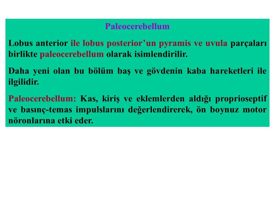 Paleocerebellum Lobus anterior ile lobus posterior'un pyramis ve uvula parçaları birlikte paleocerebellum olarak isimlendirilir.