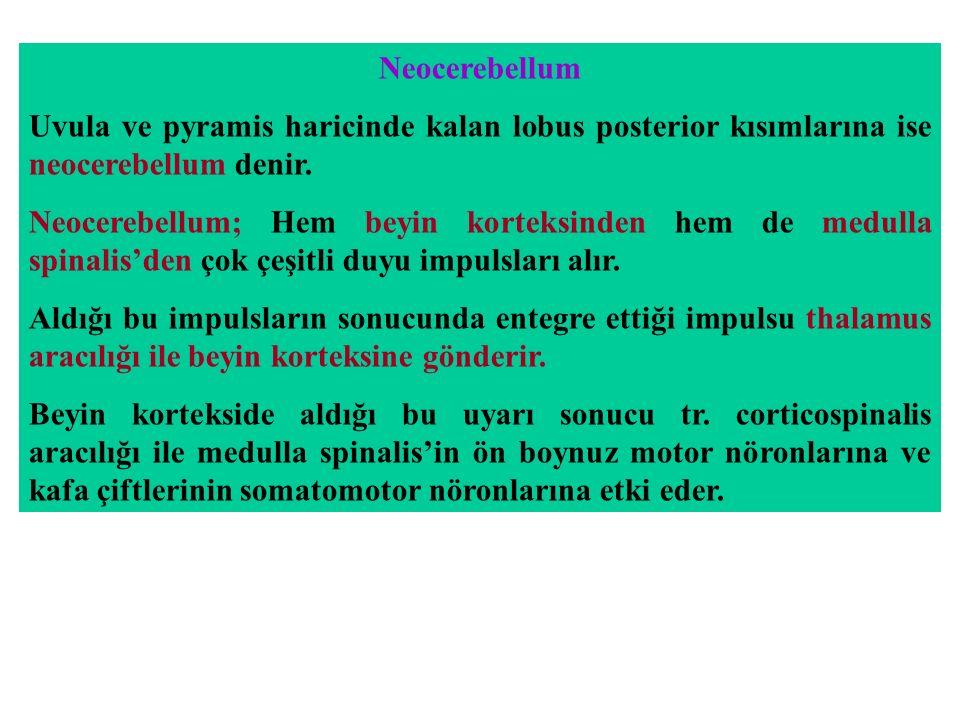 Neocerebellum Uvula ve pyramis haricinde kalan lobus posterior kısımlarına ise neocerebellum denir.