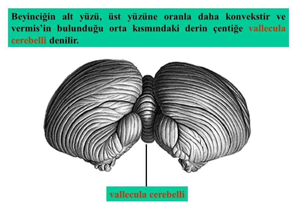Beyinciğin alt yüzü, üst yüzüne oranla daha konvekstir ve vermis'in bulunduğu orta kısmındaki derin çentiğe vallecula cerebelli denilir.