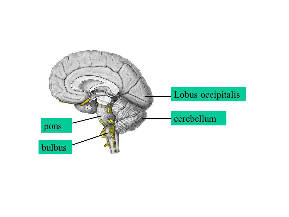 Lobus occipitalis cerebellum pons bulbus
