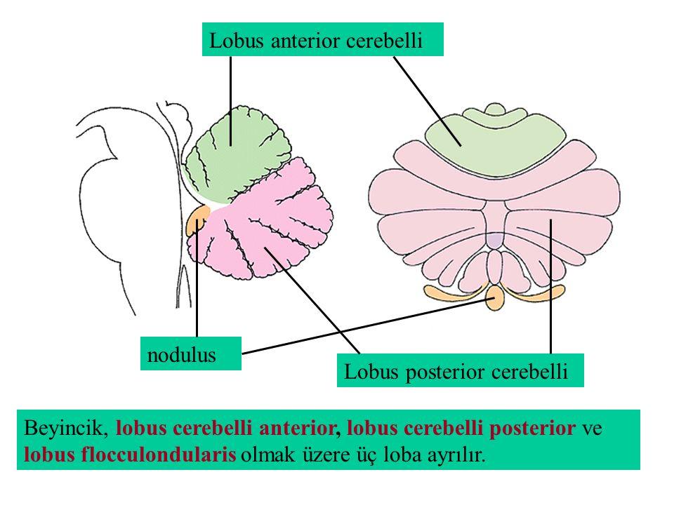 Lobus anterior cerebelli