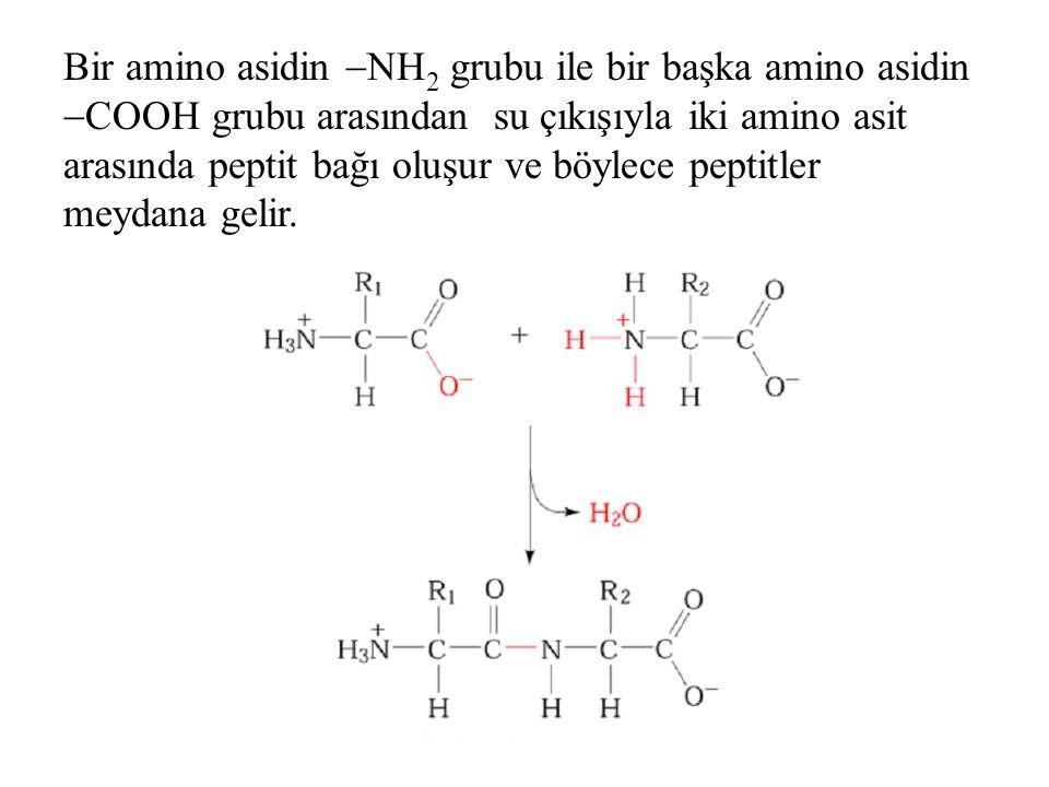 Bir amino asidin NH2 grubu ile bir başka amino asidin COOH grubu arasından su çıkışıyla iki amino asit arasında peptit bağı oluşur ve böylece peptitler meydana gelir.