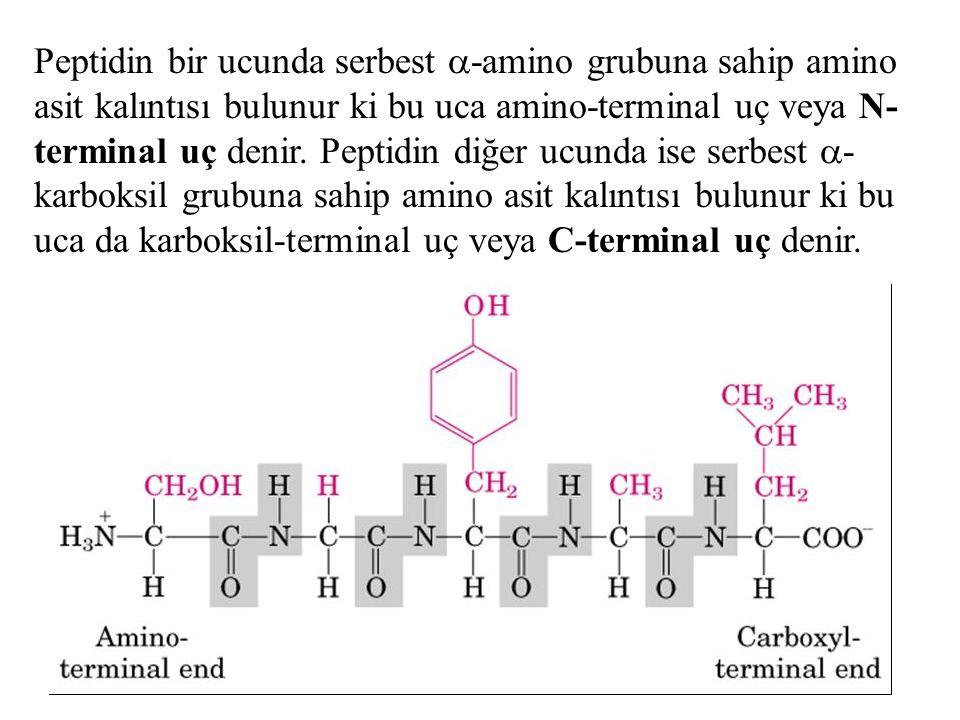 Peptidin bir ucunda serbest -amino grubuna sahip amino asit kalıntısı bulunur ki bu uca amino-terminal uç veya N-terminal uç denir.