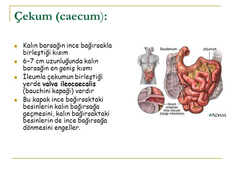 Çekum (caecum): Kalın barsağın ince bağırsakla birleştiği kısım