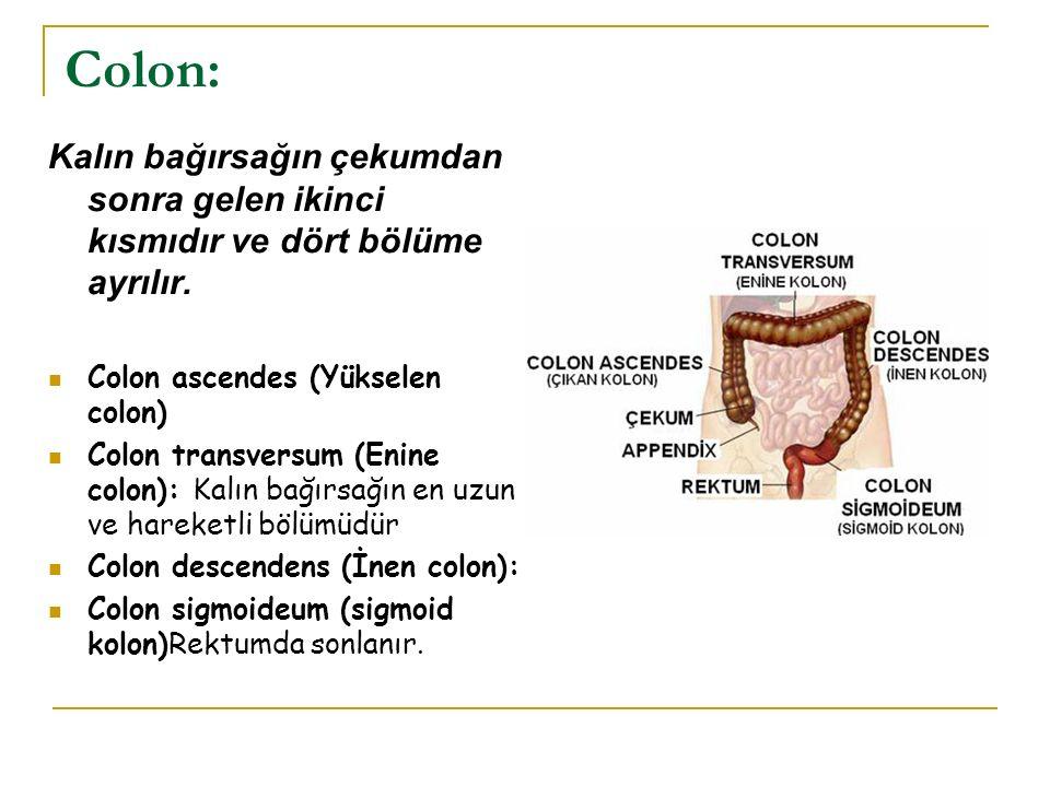 Colon: Kalın bağırsağın çekumdan sonra gelen ikinci kısmıdır ve dört bölüme ayrılır. Colon ascendes (Yükselen colon)