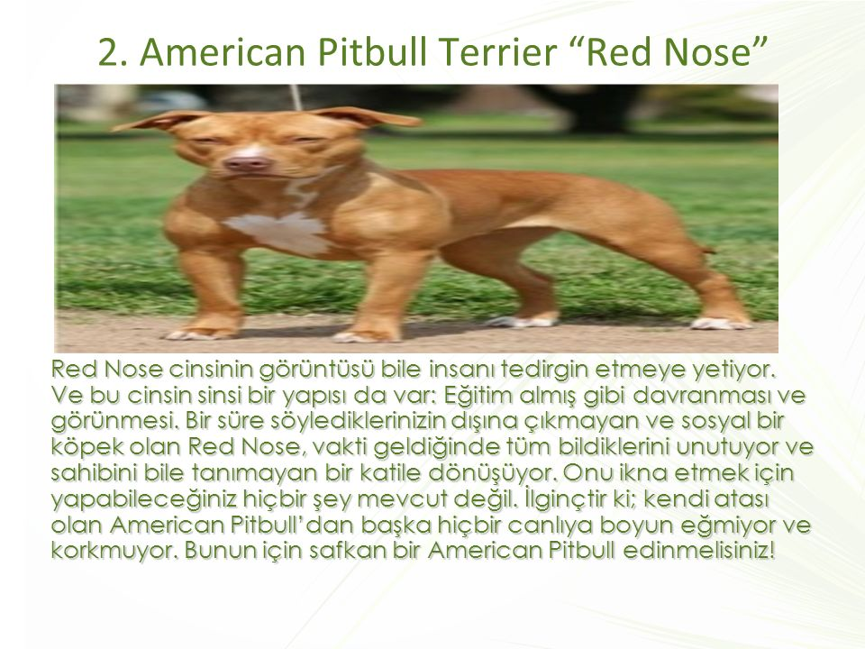 2. American Pitbull Terrier Red Nose
