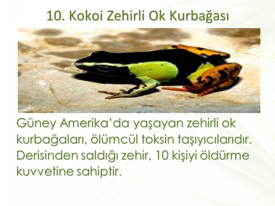 10. Kokoi Zehirli Ok Kurbağası
